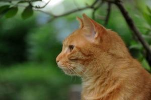アジサイ猫