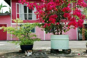 鉢植えのブーゲンビリアと猫
