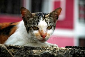 クチンの猫