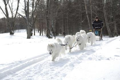橇5頭引き