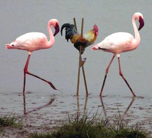 rooster-flamingo.jpg