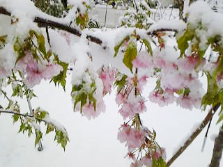 Oda-Sakura1.jpg