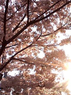 日本の桜は美しい~
