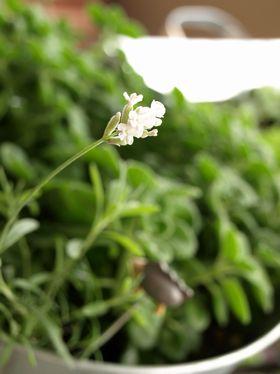 白いラベンダー