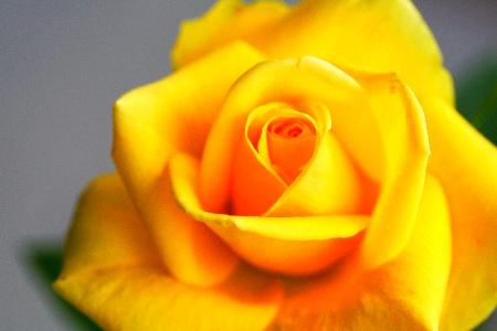 薔薇小さい