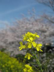 09sakura3.jpg