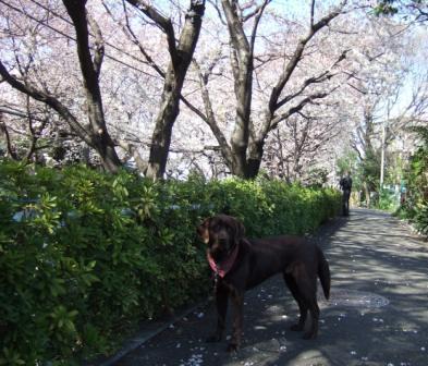 sakurazaka1
