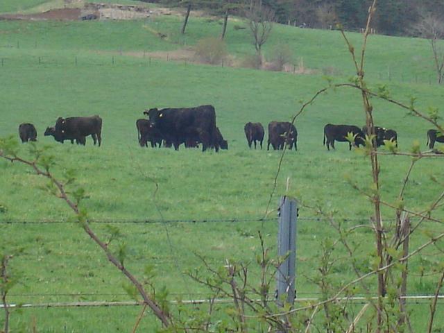 小岩井の牛たち