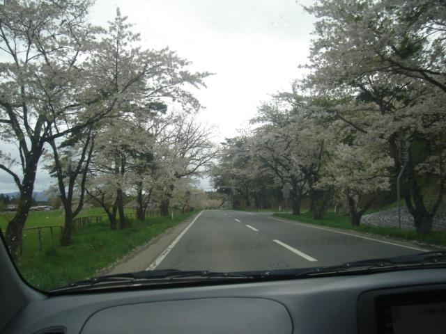 小岩井周辺の桜