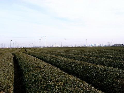 金子茶畑 003