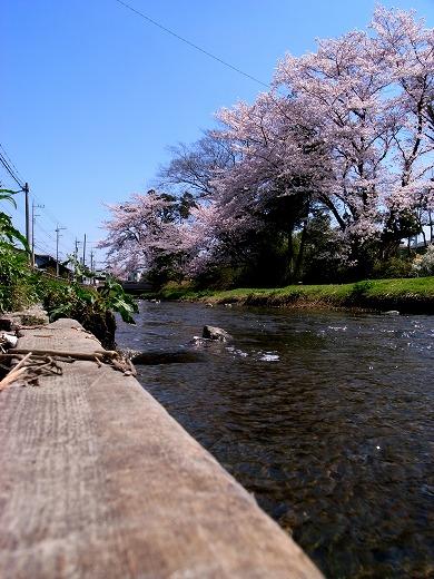 川越の桜 (5)