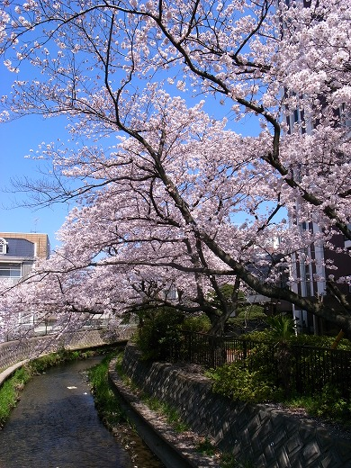 川越の桜 (4)