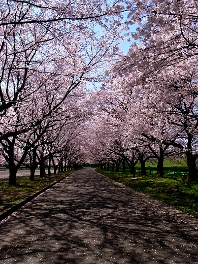 川越の桜 (2)