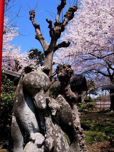 川越の桜 (3)
