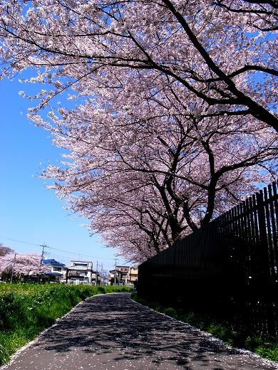 川越の桜 (11)
