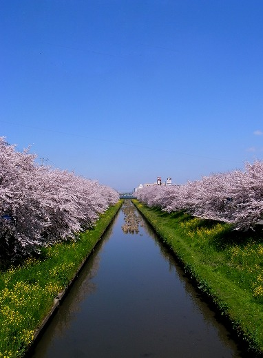 川越の桜 (10)