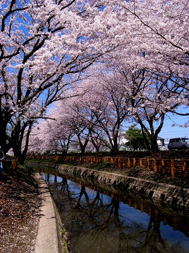 川越の桜 (8)