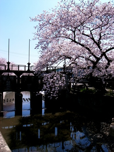 川越の桜 (6)