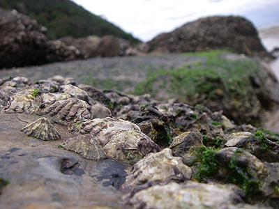 岩場に張り付く貝の仲間