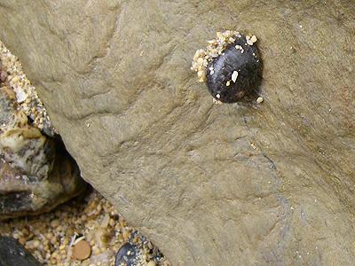 砂を背負ったニシキアマオブネ
