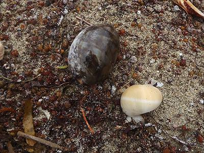 トラダマとヤクシマダカラ?の幼貝
