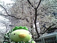 ビルの谷間の桜-1