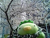 ビルの谷間の桜-2