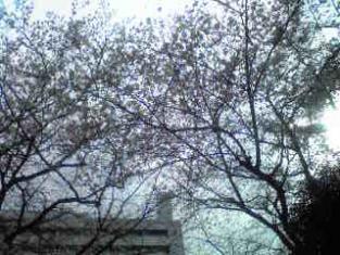 広尾桜2010 三年目2