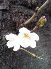 広尾桜2010 三年目3