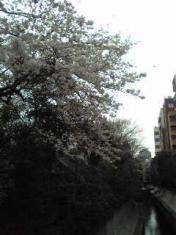 広尾桜2010 三年目