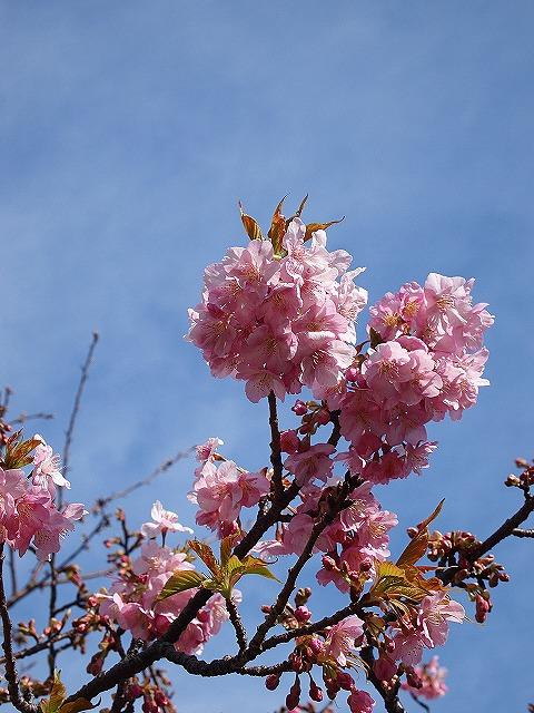 138河津桜