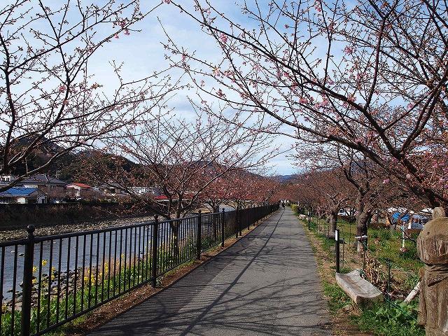 139河津桜祭り会場