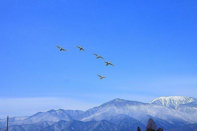 IMG_8040白鳥