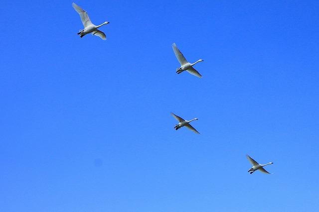 IMG_8042白鳥