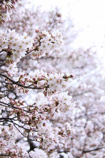 IMG_9009実相院の桜