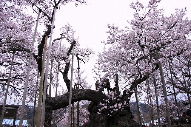 IMG_8960神代桜