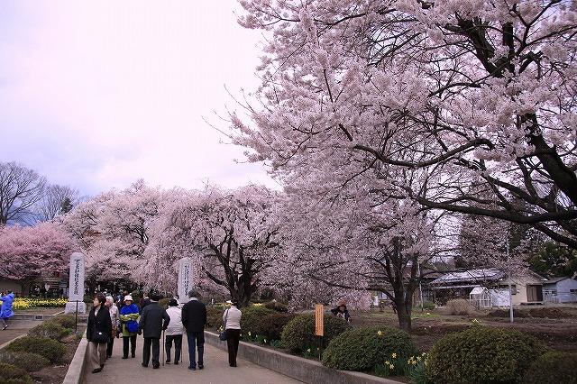 IMG_8925実相寺神代桜