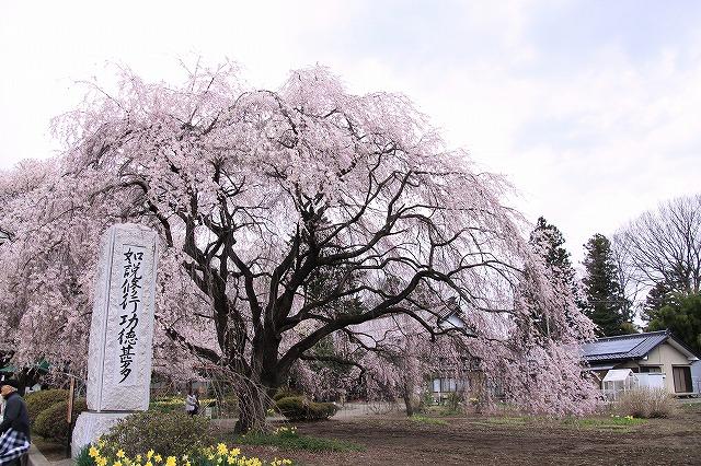 IMG_8927実相寺神代桜