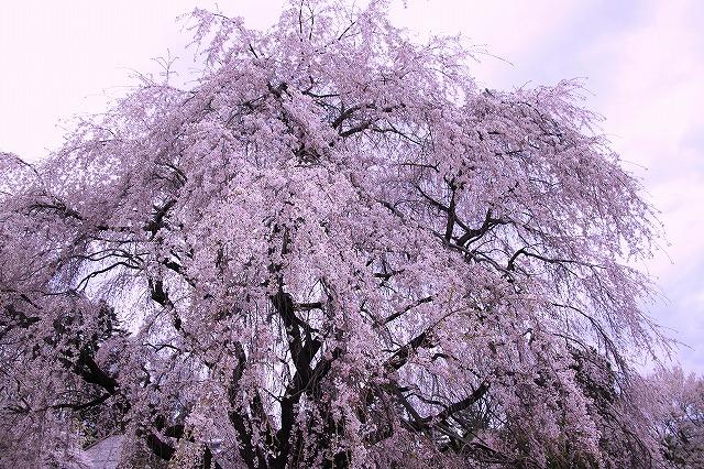 IMG_8934実相院の桜