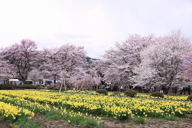IMG_8936実相院の桜