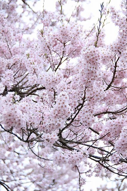 IMG_8974実相院の桜