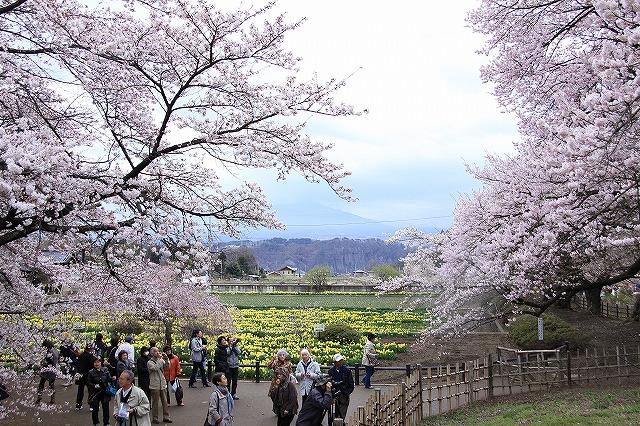 IMG_8991実相院の桜