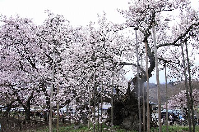 IMG_8985神代桜