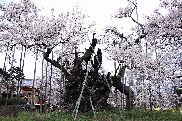 IMG_9001神代桜の裏側