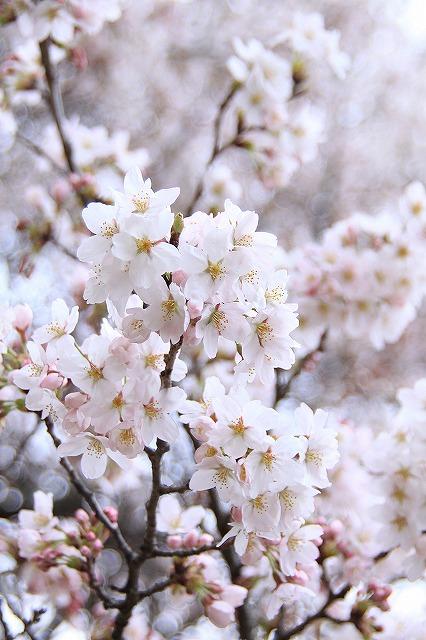 IMG_9014実相院の桜