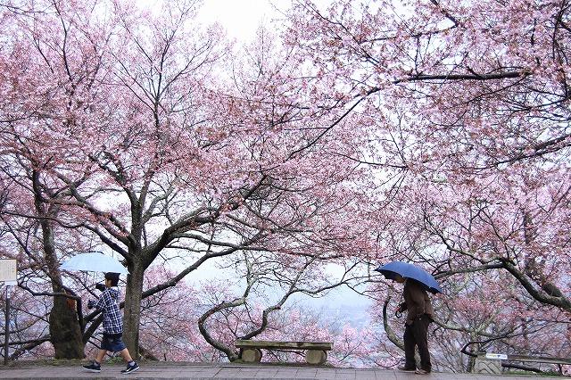 IMG_9062桜をくぐる^^