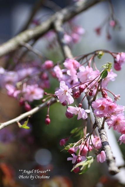 IMG_9285我が家のしだれ桜