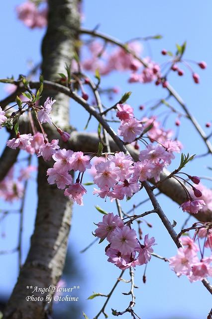 IMG_9289我が家のしだれ桜
