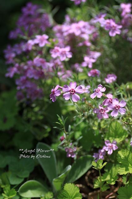 IMG_3084芝桜