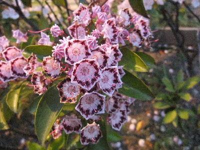 ツツジ科の花